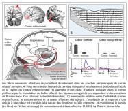 Cavité nasale, cortex orbito-frontal, amygdale, hypothalamus, thalamus, hippocampe, bulbe olfactif, aire olfactive primaire, cortex piriforme, noyau olfactif antérieur, cortex entorhinal, tubercule olfactif, émission de l'odeur, fibres nerveuses, cerveau