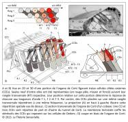 analogie organe de Corti oreille interne cellule ciliée externe CCE longueur d'onde membrane tectoriale