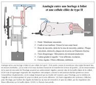 analogie, horloge mécanique à foliot, horloge à foliot, cellule de type II, poids, membrane otoconiale, masses inertielles, corde, kinocil, force de gravité, gravité, gravitation, mouvements, roue de rencontre, cadencement, régulier, touffe ciliaire, train d'engrenages, impulsions mécaniques, mécanotransduction, neurotransmetteur, glutamate, codage temporel, rotation de l'aiguille, cadran gradué, voie afférente, autorégulation, système, régules, fibres efférentes