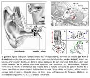 oreille externe, oreille moyenne, oreille interne, macule utriculaire, macule sacculaire, labyrinthe, orientation, kinocil, striola, sensibilité, déplacements linéaires verticaux, déplacements linéaires horizontaux, crêtes ampulaires, canaux semi-circulaires, plans orthogonaux, espace, accélérations angulaires.