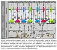 Philippe Roi, Tristan Girard, classes de neurones, rétine, lumière, cônes bleu, vert, rouge, cellules horizontales, cellules ganglionnaires, sensibilités spectrales, zone d'absorbtion de la lumière, segments externes, photorécepteurs, épithélium pigmentaire, chiorocapillaire
