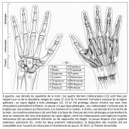 anatomie, main, poignet, pouce, doigts, squelette, ulna, raduis, scaphoïde, lunatum, triquetrum, pisiforme, hamatum, capitum, trapézoïde, trapèze, métacarpien, phalange proximale, phalange moyenne, phalange distale, rangée du carpe, armature osseuse, région palmaire, rayon digital, phalanges, articulations, flexion, jointure, cardan, tendons extenseurs, extension, muscles interosseux, écarter, rapprocher, pouce, système extenseur autonome, muscles, ouverture, écartement